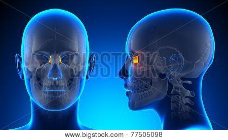 Female Lacrimal Skull Anatomy - Blue Concept