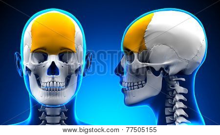 Female Frontal Bone Skull Anatomy - Blue Concept