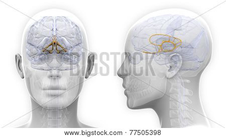 Female Limbic System Brain Anatomy - Isolated On White