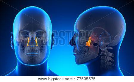 Male Palatine Skull Anatomy - Blue Concept