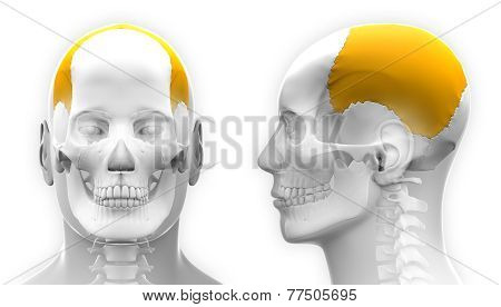 Male Parietal Bone Skull Anatomy - Isolated On White
