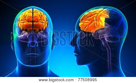 Male Frontal Lobe Brain Anatomy - Blue Concept