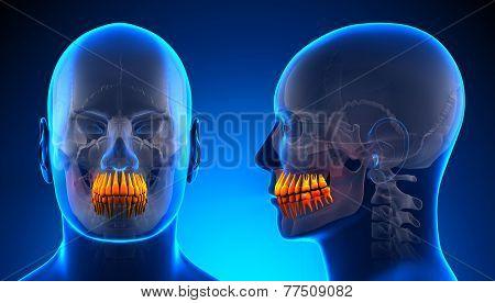 Male Teeth Dental Anatomy - Blue Concept