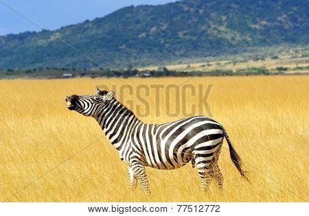 Zebra on the Masai Mara National Reserve safari in southwestern Kenya.