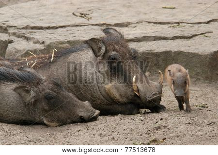 Desert warthogs (Phacochoerus aethiopicus) with a little piglet.