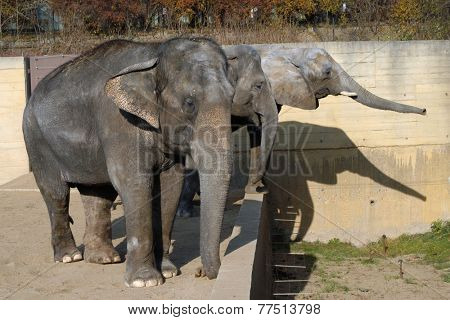 One African elephant calf (Loxodonta africana) and two Indian elephants (Elephas maximus indicus).