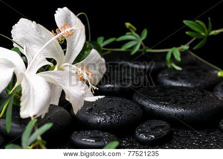 Beautiful Spa Still Life Of Blooming White Hibiscus, Green Twig With Tendril Passionflower And Drops