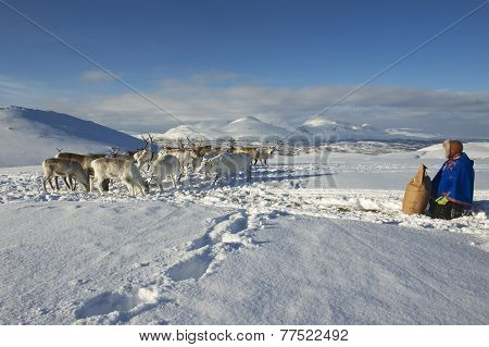 Unidentified Saami man brings food to reindeers in deep snow winter, Tromso region, Northern Norway.