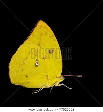 Female Lemon Emigrant Butterfly