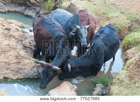 Ethiopian Cow At The Watering