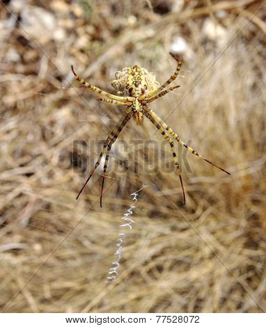 Argiope Spider In Web Closeup