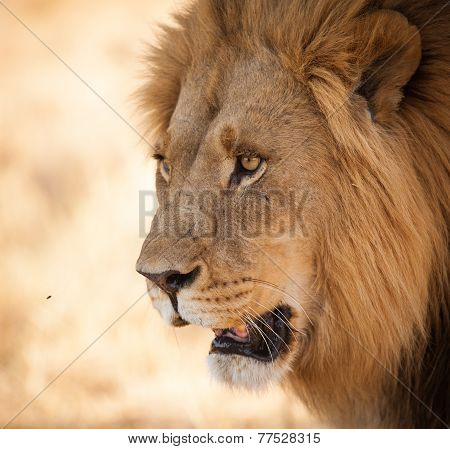 lion with bright eyes close up looking at prey