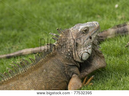 Green Iguana In A City Park