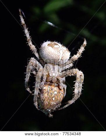 Garden spider cannibalism
