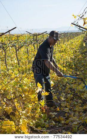 Cutting Back Grape Vines