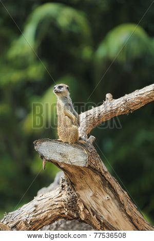 Meerkat Or Suricate (suricata Suricatta).