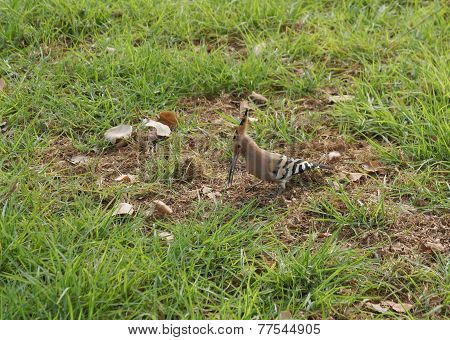 Hoopoe on a green grass