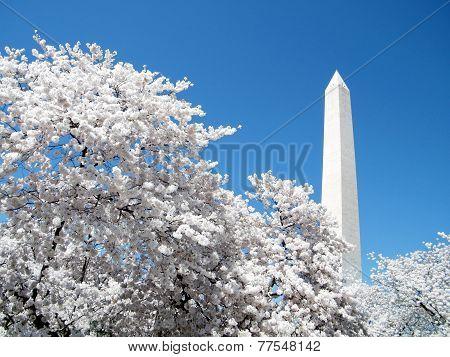 Washington Cherry Blossoms In Front Of  Washington Monument 2010