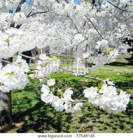 Washington Cherry Blossoms Tree 2010