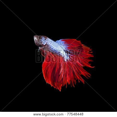 thai red betta fighting fish top form isolated on black