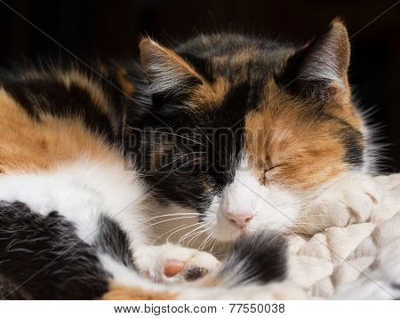 Calico cat asleep in sun