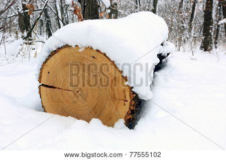 oak log under snow in forest