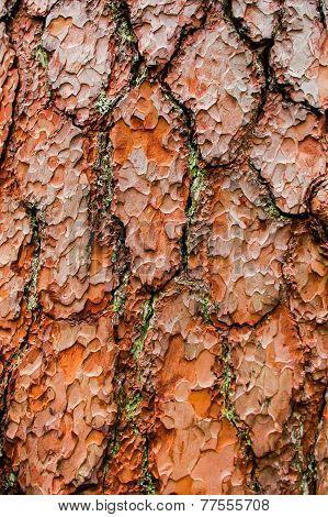Pinewood bark