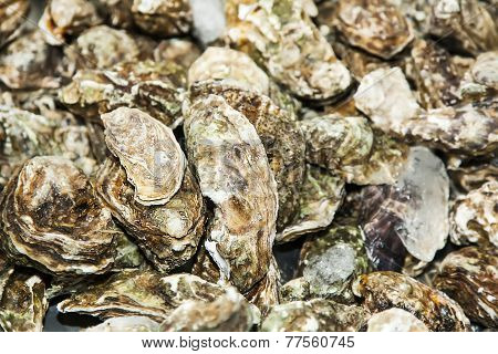 Fresh Closed Oyster Background