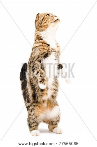 Scottish Fold cat standing on hind legs