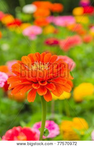 Vibrant orange zinnia in the summer garden.