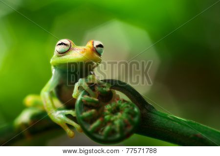 tree frog hypsiboas punctatus. A small treefrog from the Amazon rain forest. Macro of a tropical amphibian.