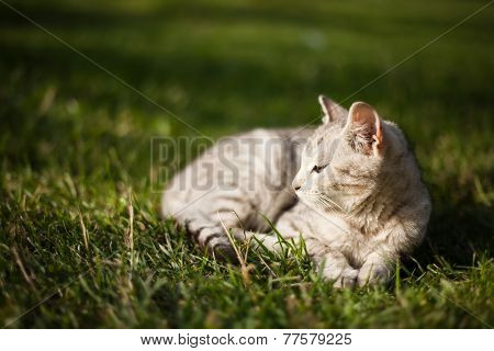 Beautiful White Cat Lies On Grass