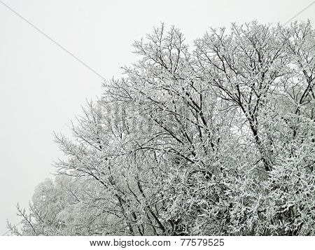 Icing On The Tree During The Winter And Fog.