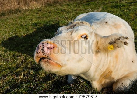 Strange-looking White Cow From Close