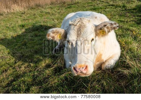Lazy White Cow From Close