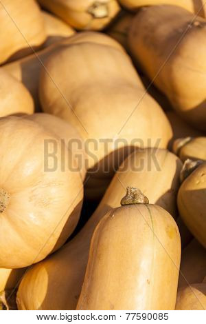 Butternut Butternuss Cucurbita Pumpkin Pumpkins From Autumn Harvest