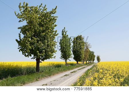 Country Road With Canola Field
