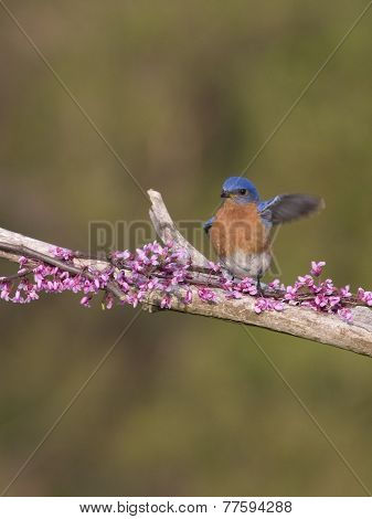 Male Eastern Bluebird Wing Wave