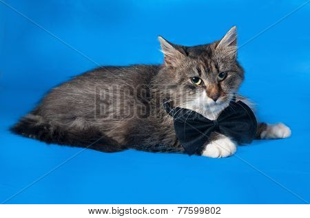 Fluffy Tabby And White Kitten In Bow Tie Lies On Blue