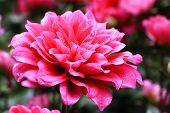 picture of raindrops  - Dahlia flowers and raindrop,closeup of red Dahlia flower in full bloom with raindrop