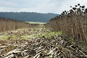 pic of life after death  - field of sunflowers after harvesting in the fall in Bulgaria - JPG