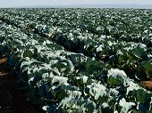 picture of water cabbage  - Farming landscape view of a freshly growing cabbage field agriculture background image - JPG