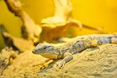 foto of goanna  - One little goanna on the sand macro - JPG