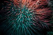 image of echinoderms  - Poisonous crown of thorns sea star  - JPG