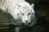 image of bengal cat  - Rare White Bengal Tiger swimming at the Singapore Zoo.