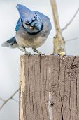 stock photo of blue jay  - A Blue Jay perched on a wood post. ** Note: Visible grain at 100%, best at smaller sizes - JPG