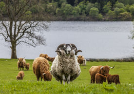 stock photo of incredible  - Incredible scottish cattle and sheep  - JPG
