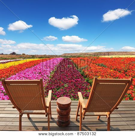 Spring buttercups grow multi-colored strips. Two chaise lounges for rest stand on a scaffold at a picturesque flower field