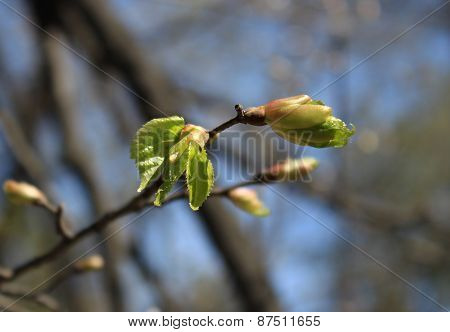 Spring. Melting buds of linden