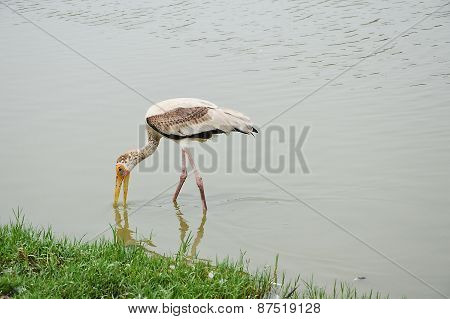 stork go hunting a meal